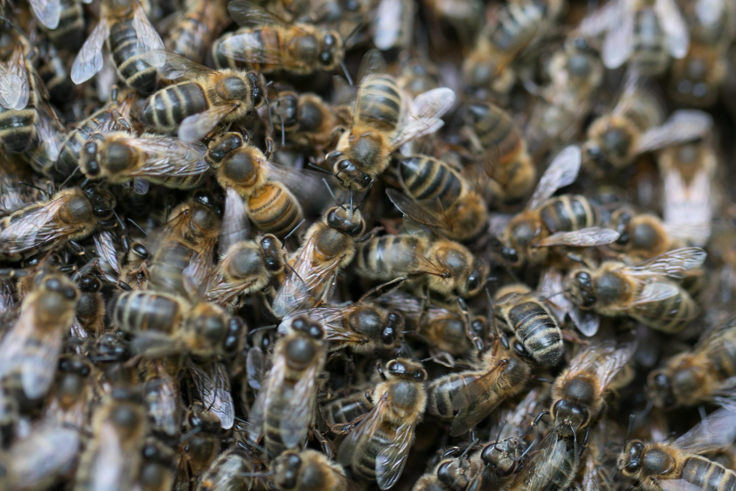Essains abeilles